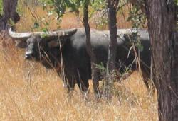 Australian Outfitter Water Buffalo Hunt Safari