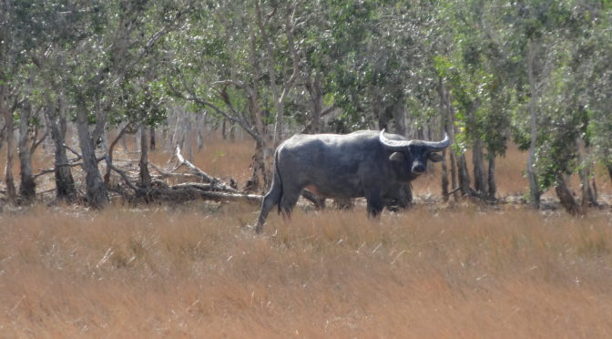 Australian Water Buffalo Safaris